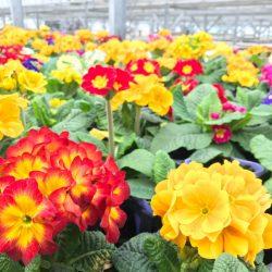色鮮やかな花苗たち